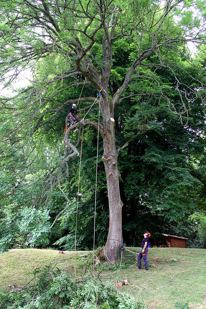 Tree surgery crown lifting