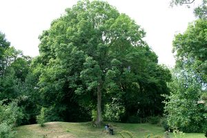 tree crown lift