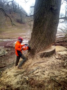 Felling big tree