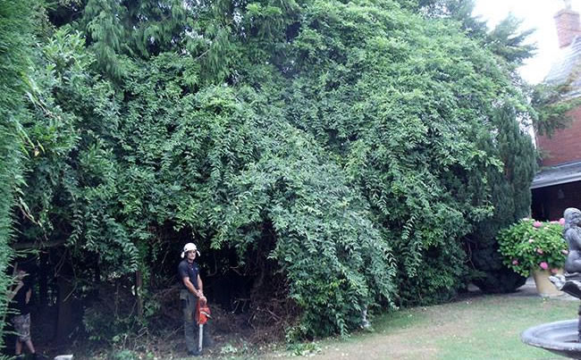 cutting back big hedge
